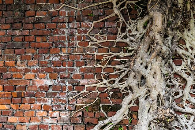 Tree root on red brick wall.jpeg