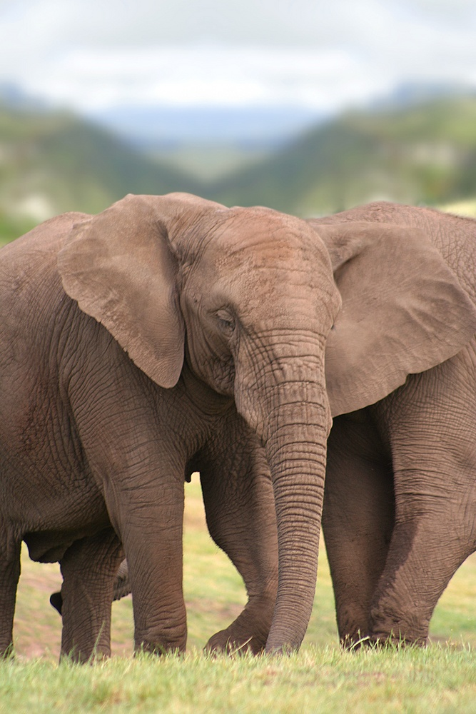 Two elephants lumbering across the Savannah illustrate the way Big Data appears to healthcare organizations.