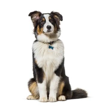 sitting - dog